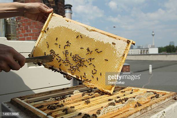 Urban beekeeper Erika Mayr pulls out a honeycomb rack to check on the health as well as the honey content of one of her honey bee colonies on the...