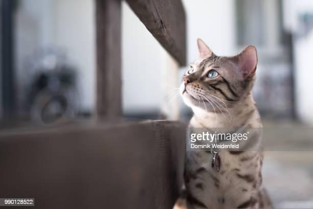 Urban Bengal Cat