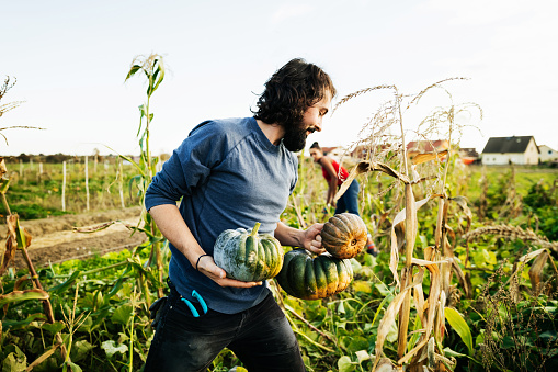 Urban Farmer Carrying Freshly Harvested Pumpkins While Tending Crops - gettyimageskorea