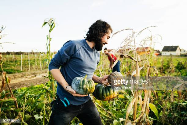 urban farmer carrying freshly harvested pumpkins while tending crops - garden harvest stock pictures, royalty-free photos & images