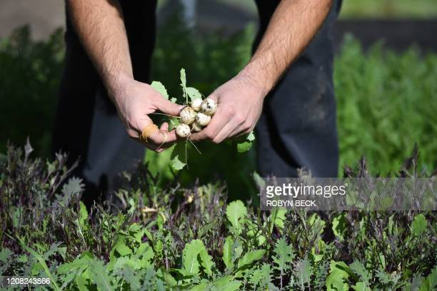 Urban farmer Eric Tomassini harvests snowball turnips at Avenue 33 Farm, a backyard urban farm in Los Angeles on March 25, 2020. - Tomassini and his...