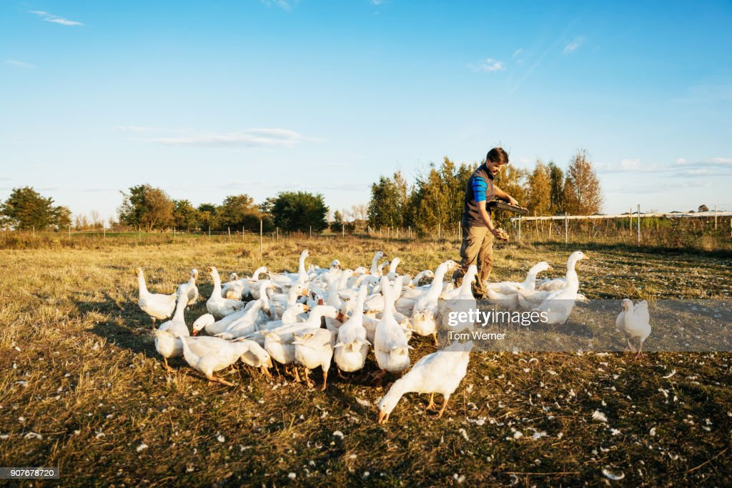 Urban Farmer Feeding Gaggle Of Geese : Stock Photo
