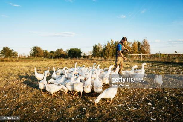 urban farmer feeding gaggle of geese - duck bird stock photos and pictures