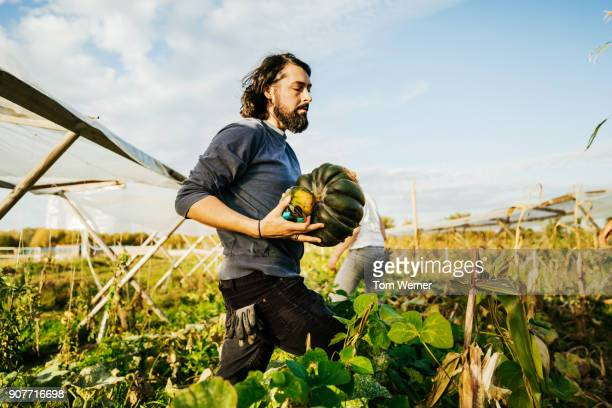 urban farmer harvesting homegrown pumpkins with colleagues - agricultural activity stock pictures, royalty-free photos & images
