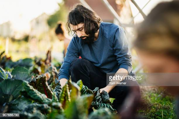 urban farmer kneeling down tending to rhubarb plot - ernten stock-fotos und bilder