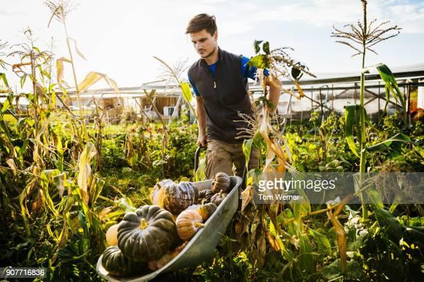 Urban Farmer Maneuvering Wheelbarrow Filled With Pumpkins Through Crop Field