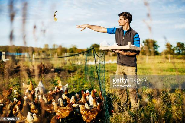 urban farmer tossing food to chickens in free range pen - poulailler photos et images de collection