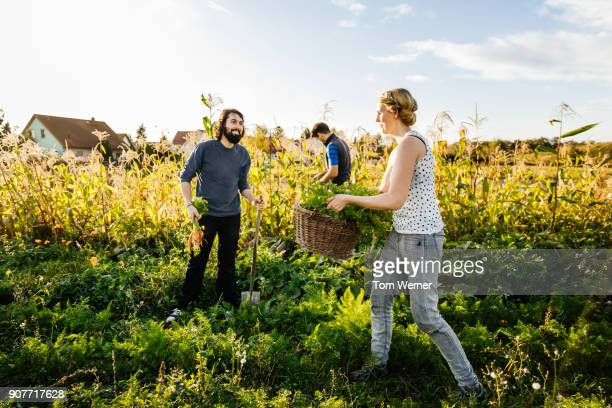 urban farmers enjoying the sunshine while harvesting small organic carrot crop - garden harvest stock pictures, royalty-free photos & images