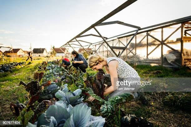 urban farmers harvesting rhubarb from small organic crop - sustainability stock photos and pictures