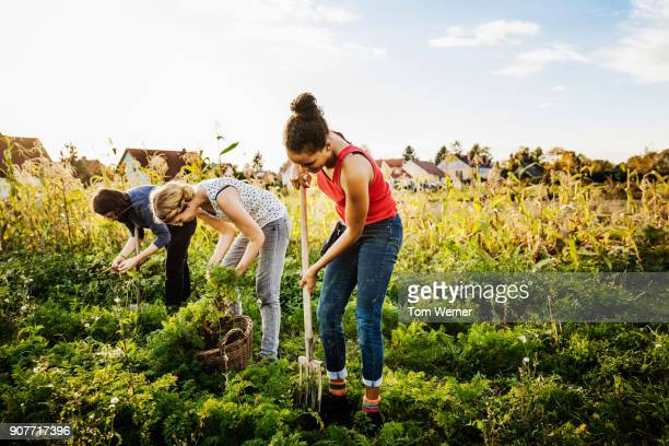 urban farmers harvesting vegetables from small organic plot - self sufficiency stock pictures, royalty-free photos & images
