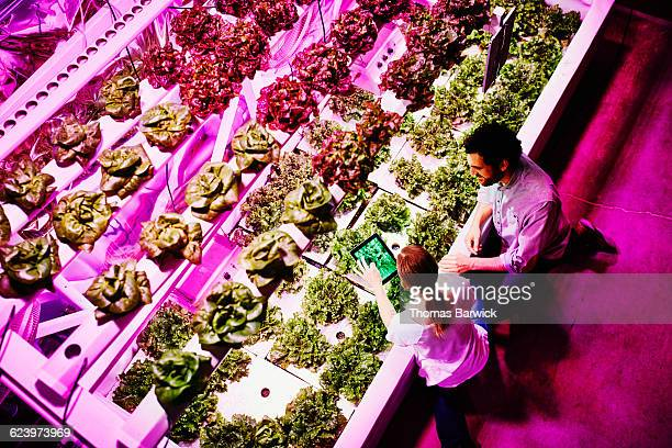 urban farmers taking photo of lettuce crop - abundance stock pictures, royalty-free photos & images