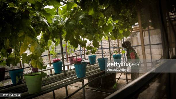 Urban Farming worker wears face mask to prevent the spread of Covid-19 during cleaning up the planting area at the International Youth Centre, Kuala...