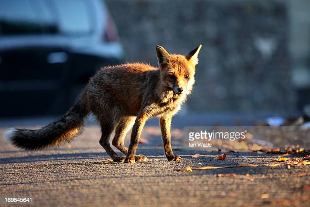CONTENT] Urban fox crossing the street in the evening light in the city of Bristol