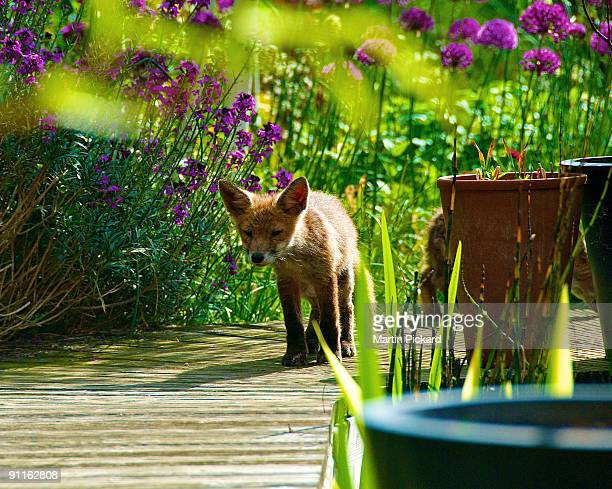 Urban fox cub in the garden