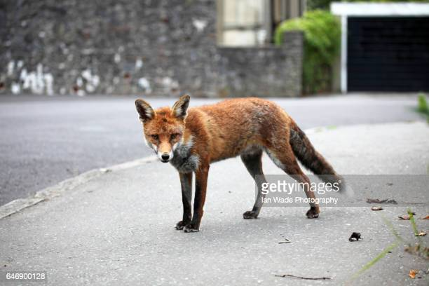 urban fox in bristol street - fox stock pictures, royalty-free photos & images