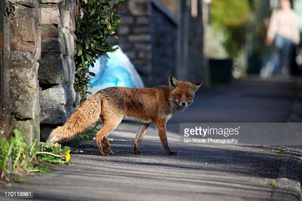 Urban fox in busy street