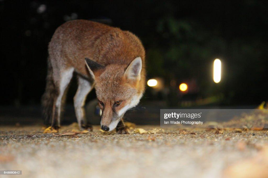 Urban Fox in Street after dark : Stock Photo