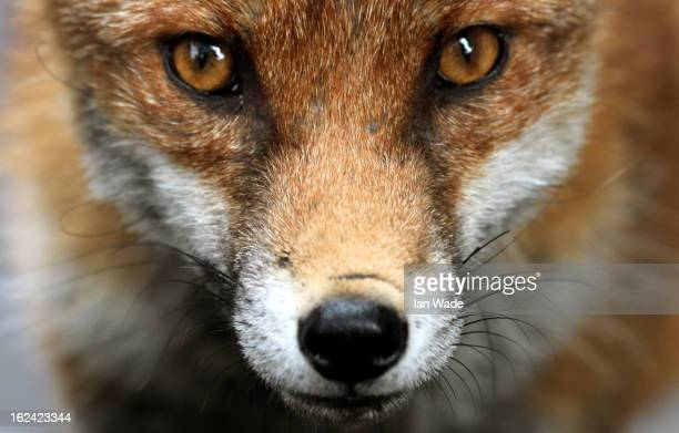 CONTENT] Urban fox in urban environment scavenger for food in the city of Bristol during daylight hours By Ian Wade
