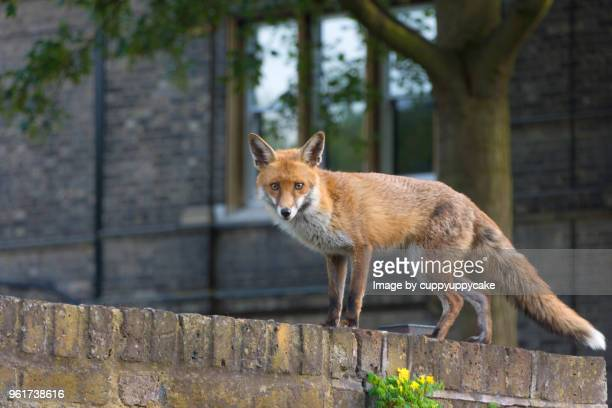 urban fox - fox stock pictures, royalty-free photos & images