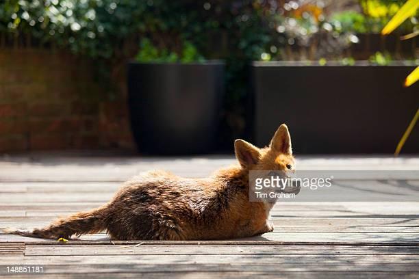 Urban fox Vulpes vulpes sunbathing on decking in a city garden in Hampstead London