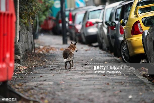 Urban fox walking down a Bristol street during day light hours