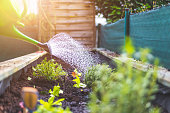 Urban gardening: Watering fresh vegetables and herbs on fruitful soil in the own garden, raised bed.
