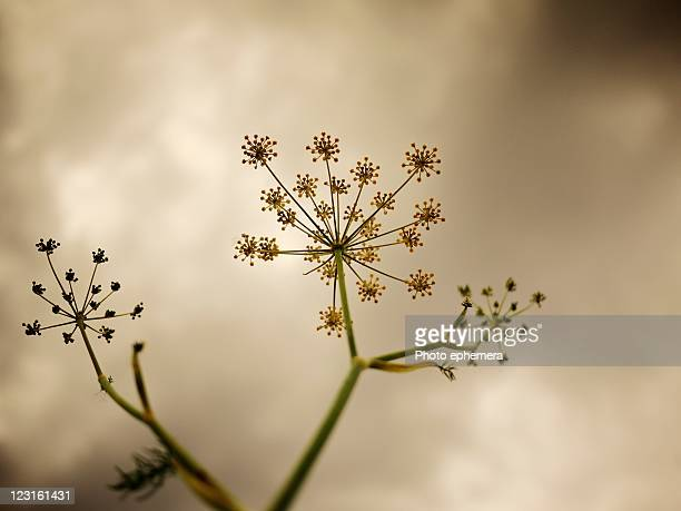 urban growth - poison hemlock stock pictures, royalty-free photos & images