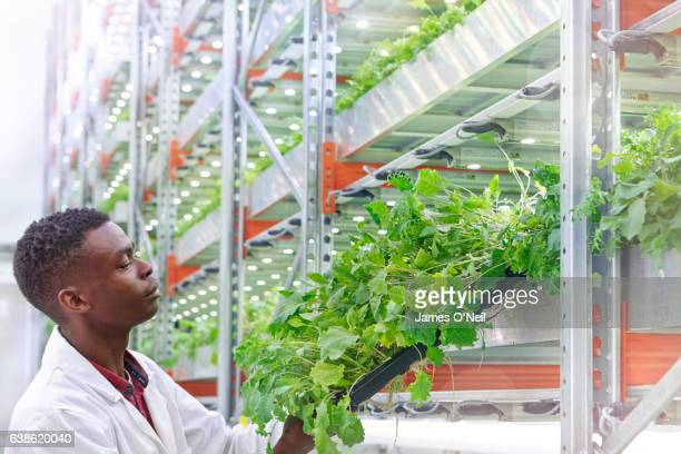urban hydroponics farm with worker inspecting salad - agriculture stock pictures, royalty-free photos & images
