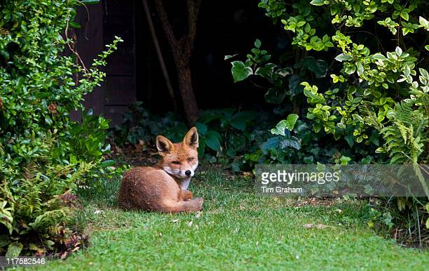 Urban male fox lies confidently in London town garden Hampstead London England