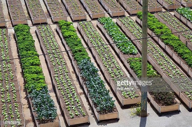 Urban organic vegetable garden