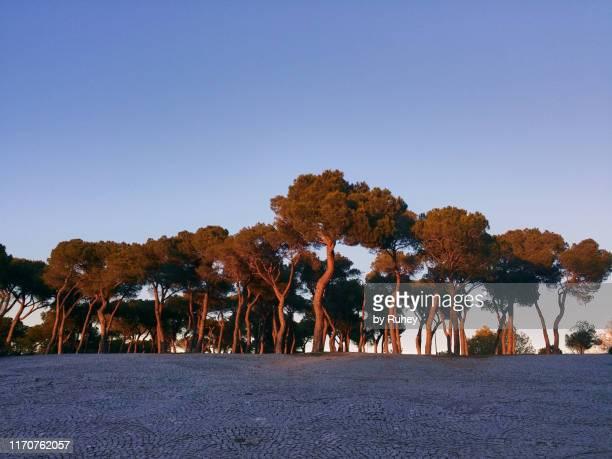 urban pine grove at sunset - 松林 ストックフォトと画像