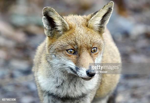 urban red fox - omnívoro fotografías e imágenes de stock