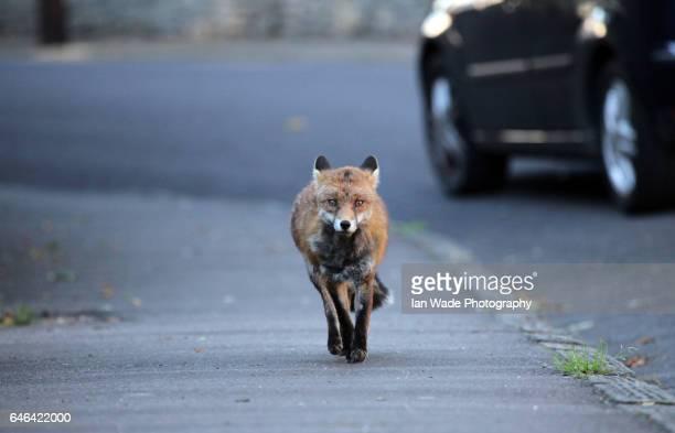 Urban Red fox running in a street