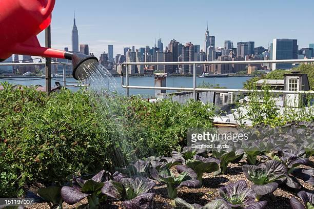 Urban rooftop farming in Brooklyn, New York