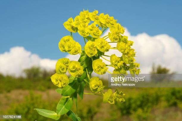 Urban spurge (Euphorbia agraria), Ukraine, Eastern Europe