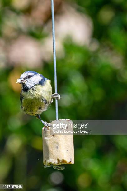 urban wildlife bluetit, cyanistes caeruleus, perched on a garden feeder with bird seed - bird stock pictures, royalty-free photos & images