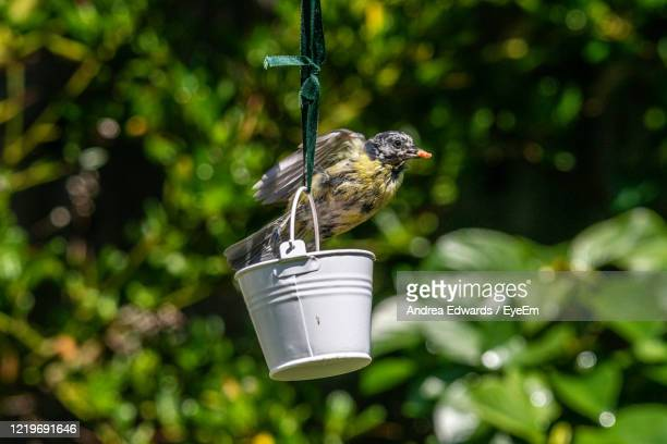 urban wildlife with a bluetit, cyanistes caeruleus, perched on a garden bird feeder - luton stock pictures, royalty-free photos & images
