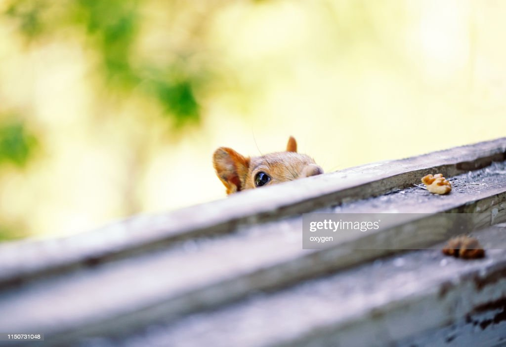 Сurious Squirrel looks for to eat nuts : Stock Photo