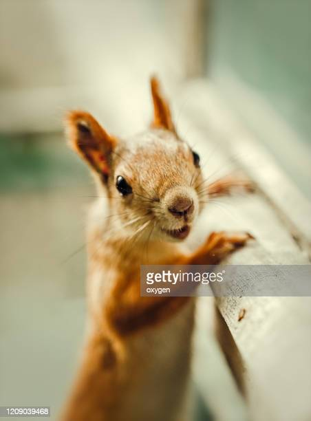 сurious squirrel stay staring towards the camera - squirrel stock pictures, royalty-free photos & images