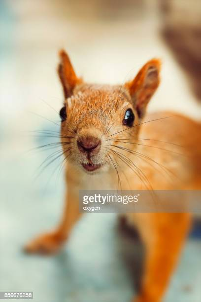 Сurious Squirrel stay staring towards the camera