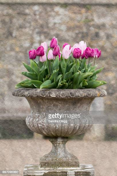 urn of tulips - urn stock pictures, royalty-free photos & images