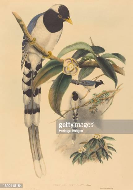 Urocissa cucullata, probably 1850/1883. Artist John Gould, Henry Constantine Richter.