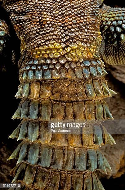 uromastyx ornata (ornate mastigure, ornate dabb lizard) - tail - asiatische wildkatze stock-fotos und bilder