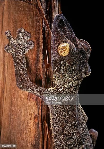 uroplatus fimbriatus (giant leaf-tailed gecko) - geco de cola plana fotografías e imágenes de stock
