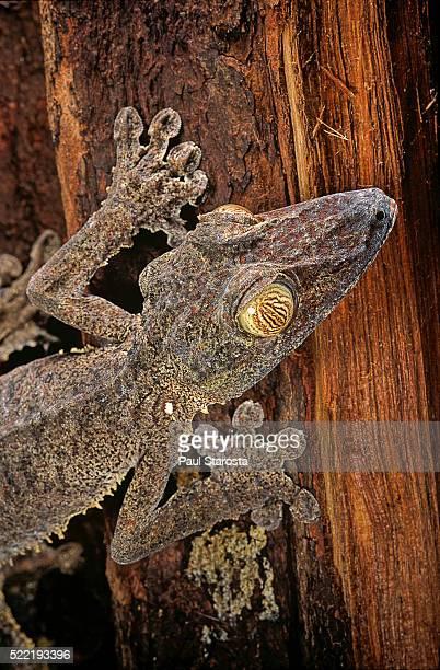 uroplatus fimbriatus (giant leaf-tailed gecko) - ヒロオヤモリ ストックフォトと画像