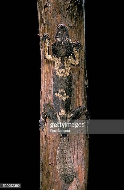 uroplatus henkeli (flat-tailed gecko) - ヒロオヤモリ ストックフォトと画像