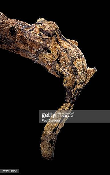 uroplatus henkeli (flat-tailed gecko) - geco de cola plana fotografías e imágenes de stock
