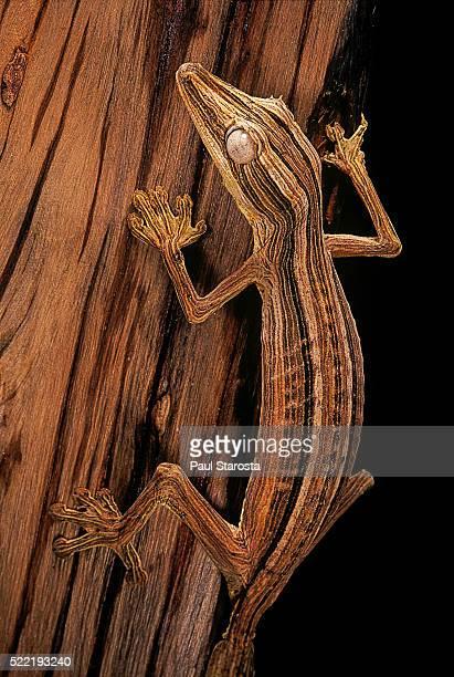 uroplatus lineatus (lined flat-tailed gecko) - ヒロオヤモリ ストックフォトと画像