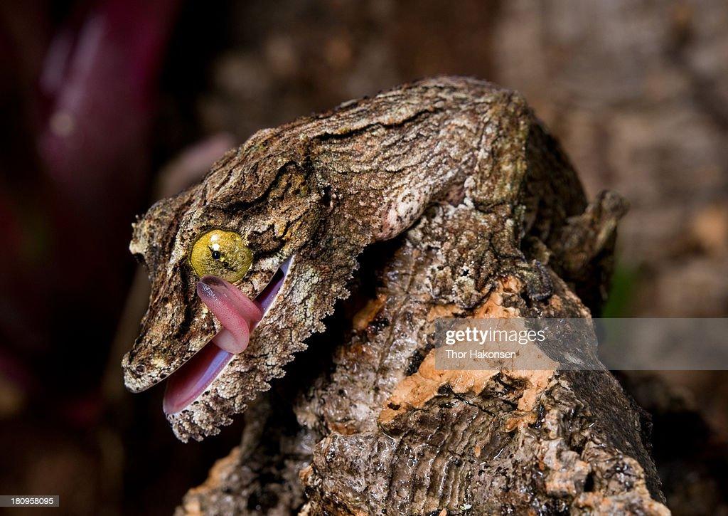 Uroplatus sikorae - Mossy Leaf-tailed Gecko : Stock Photo