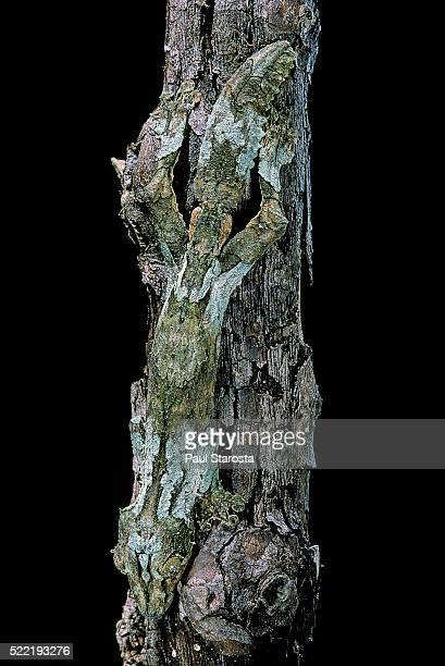 uroplatus sikorae (mossy leaf-tailed gecko) - ヒロオヤモリ ストックフォトと画像